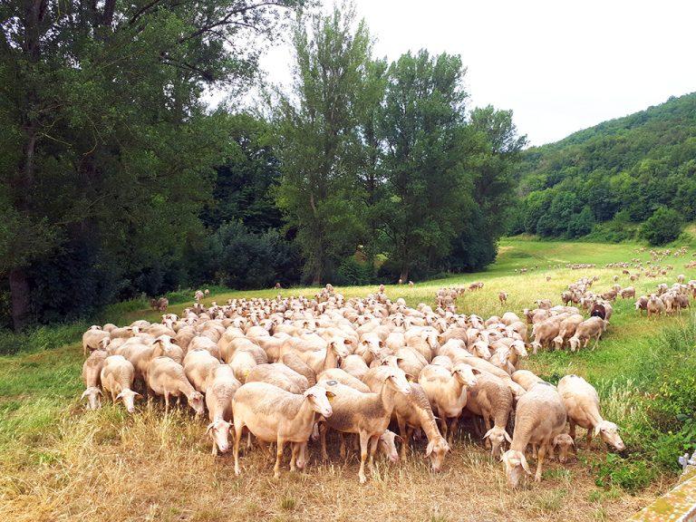 Saint Léons agriculture brebis